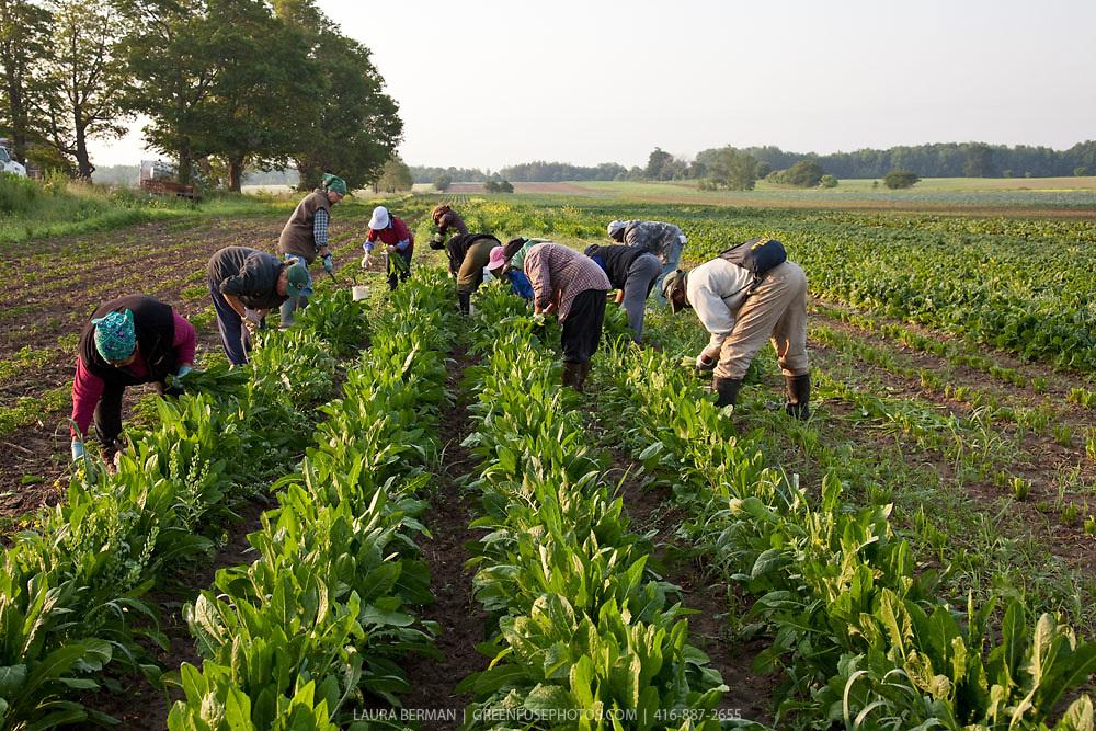 Pfenning farm workers harvesting organic dandelion greens.