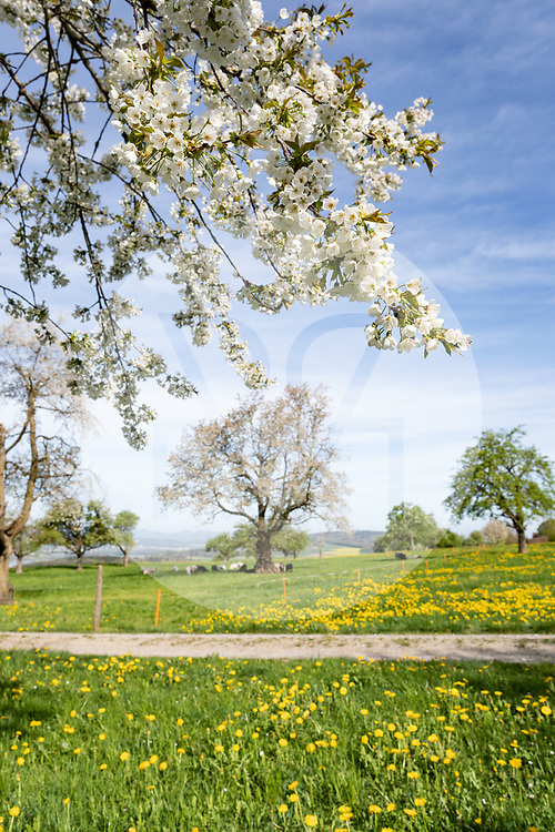 SCHWEIZ - BETTWIL - Blühender Hochstamm-Baum - 24. April 2019 © Raphael Hünerfauth - https://www.huenerfauth.ch