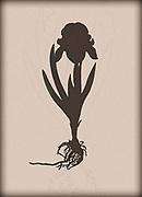 Digitally enhanced Silhouette of dry pressed Iris on white background