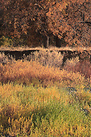 Willows in autumn color along the Grande Ronde River Canyon, WA, USA