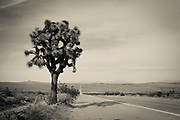 Moody shot of a joshua tree by the highway on the way to Death Valley
