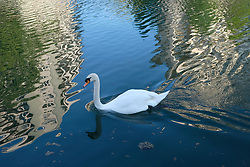 A swimming swan is seen in Paris during COVID-19 as a strict lockdown is effective to stop the spread of the Coronavirus disease. Shot in Paris, France on April 27, 2020. Photo by Aurore Marechal/ABACAPRESS.COM