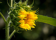 A sunflower bud opens its petals