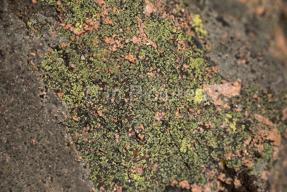 Close up of green lichen which covers the mountain landscape of the Calanques de Piana gold and pink coloured granite rock formations formed by wind and rain erosion creating dramatic cavities as they descend into the sea at the gulf of Porto, on 11th September 2017 in Piana, Corsica, France. Corsica is an island in the Mediterranean and one of the 18 regions of France. It is located southeast of the French mainland and west of the Italian Peninsula.