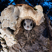 This is a Japanese dwarf flying squirrel (Pteromys volans orii), a sub-species of Siberian flying squirrel, peeking out from its nest before emerging for a night of foraging. Known locally as ezo-momonga, this sub-species is found only in Hokkaido, Japan. It is primarily nocturnal. Mature females measure up to 15cm, males up to 18cm (not including tail). These animals weigh up to 120g and are capable of gliding considerable distances. During flight, they use their patagia (membranes of skin between their forelimbs and hind limbs) and tails (10-12cm) to achieve lift, directional control and maneuvering capability. One study in Japan recorded a maximum glide distance exceeding 49m, though most flights fell into the 10m to 20m range.