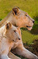A rare white lion mother and cub, Lion Park, near Johannesburg, South Africa. The white lion is a rare color mutation from the Timbavati region of South Africa.