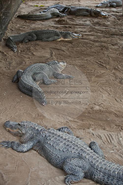 American alligator (Alligator mississipiensis) relaxes on land in Myrtle Beach, SC.