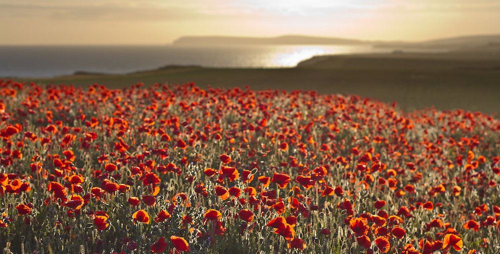 Field of wild poppies growing on the Isle of Wight