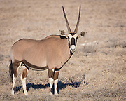 "The gemsbok or gemsbuck (Oryx gazella) is a large antelope in the Oryx genus. It is native to the arid regions of Southern Africa, such as the Kalahari Desert. The gemsbok is depicted on the coat of arms of Namibia, where the current population of the species is estimated at 373,000 individuals. Gemsbok are light brownish-grey to tan in colour, with lighter patches toward the bottom rear of the rump. Their tails are long and black in colour. A blackish stripe extends from the chin down the lower edge of the neck, through the juncture of the shoulder and leg along the lower flank of each side to the blackish section of the rear leg. They have muscular necks and shoulders, and their legs have white 'socks' with a black patch on the front of both the front legs, and both genders have long, straight horns. Comparably, the East African oryx lacks a dark patch at the base of the tail, has less black on the legs (none on the hindlegs), and less black on the lower flanks. One very rare condition is the ""Golden Oryx"", in which the Gemsboks black markings are muted and now appear golden."