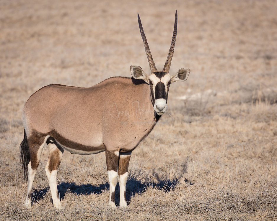 """The gemsbok or gemsbuck (Oryx gazella) is a large antelope in the Oryx genus. It is native to the arid regions of Southern Africa, such as the Kalahari Desert. The gemsbok is depicted on the coat of arms of Namibia, where the current population of the species is estimated at 373,000 individuals. Gemsbok are light brownish-grey to tan in colour, with lighter patches toward the bottom rear of the rump. Their tails are long and black in colour. A blackish stripe extends from the chin down the lower edge of the neck, through the juncture of the shoulder and leg along the lower flank of each side to the blackish section of the rear leg. They have muscular necks and shoulders, and their legs have white 'socks' with a black patch on the front of both the front legs, and both genders have long, straight horns. Comparably, the East African oryx lacks a dark patch at the base of the tail, has less black on the legs (none on the hindlegs), and less black on the lower flanks. One very rare condition is the """"Golden Oryx"""", in which the Gemsboks black markings are muted and now appear golden."""