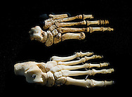 Homo floresiensis foot alongside modern human foot. Extrapolating the length of the missing hobbit calcanus (heel bone), suggests that hobbit feet were as large as our own, though they stood no taller than today's 5-year-olds. Like Tolkien's hobbits, the Flores hobbits were short of stature and long of foot.