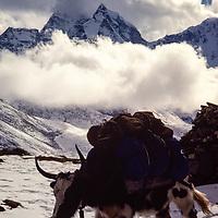 Yaks carry loads for trekkers in the Khumbu region of Nepal. 1979. Mt. Thamserku bkg