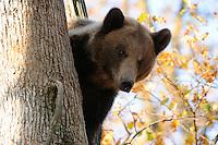 European Brown Bear, (Ursus arctos) captive,  Private Bear Park, near Brasov, Romania, Transylvania, Southern Carpathians, Romania