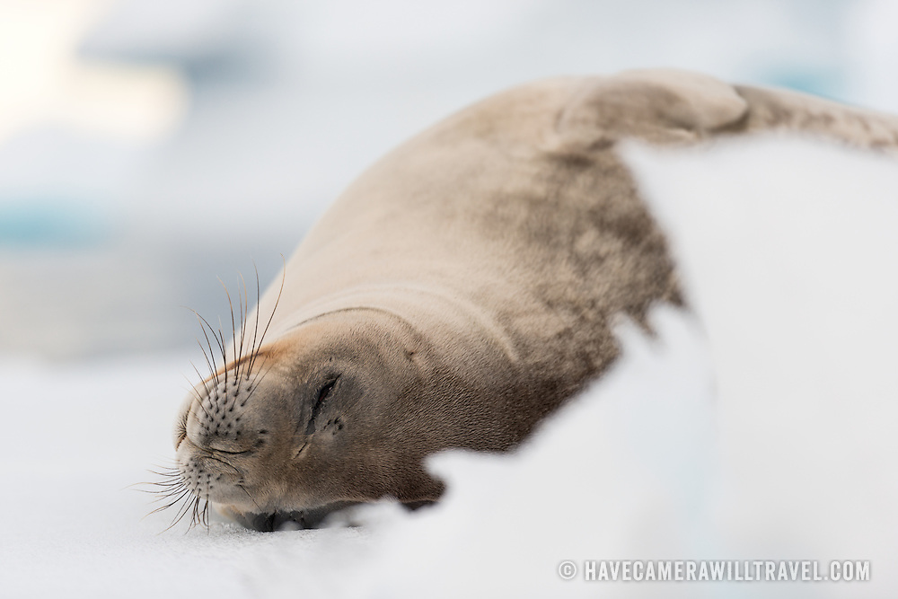 A Weddell seal sleeps on a small iceberg in Hughes Bay on the western coast of the Antarctic Peninsula.