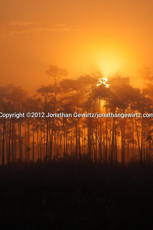 The sun rises behind a pine hammock on a foggy morning in Everglades National Park, Florida. WATERMARKS WILL NOT APPEAR ON PRINTS OR LICENSED IMAGES.<br /> <br /> Licensing: https://tandemstock.com/assets/74295526