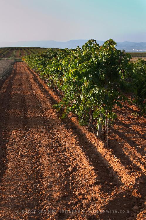 Vineyard. Mas Comtal, Avinyonet, Penedes, Catalonia, Spain