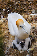 Gannet and chick at Gannet Colony, Otakamiro Point, Muriwai Beach, Northland, New Zealand