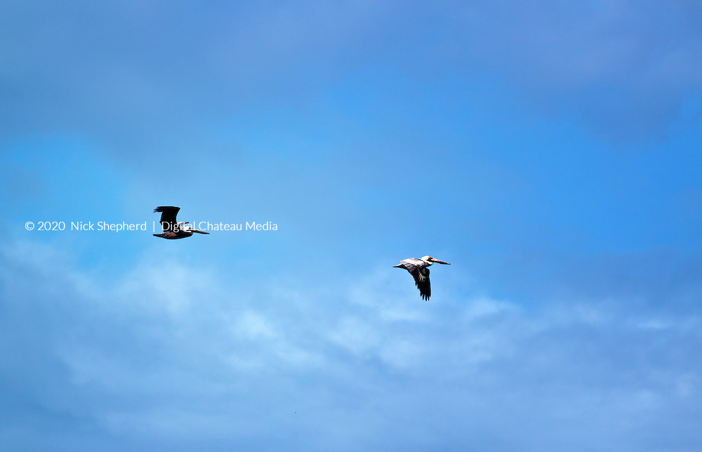 Two pelicans flying in formation over the caribbean sea.