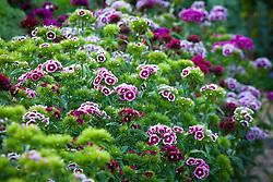 Dianthus barbatus 'Electron Mix' - Sweet William