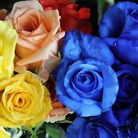 South America, Ecuador, Cayambe. Assorted fresh rose bouquets.
