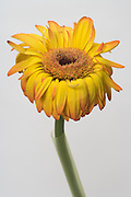 dying Gerbera flower