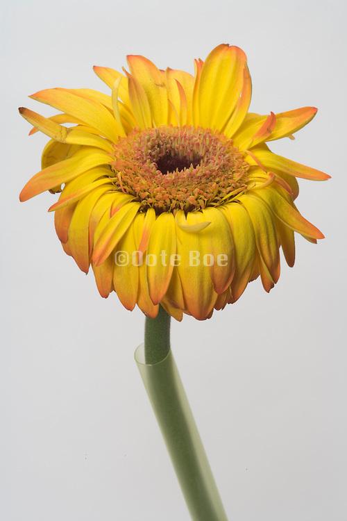 dying Gerbera flower
