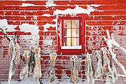 Reindeer skins hung to dry on the side of a wooden cabin in Karasjok, Finnmark region, northern Notway