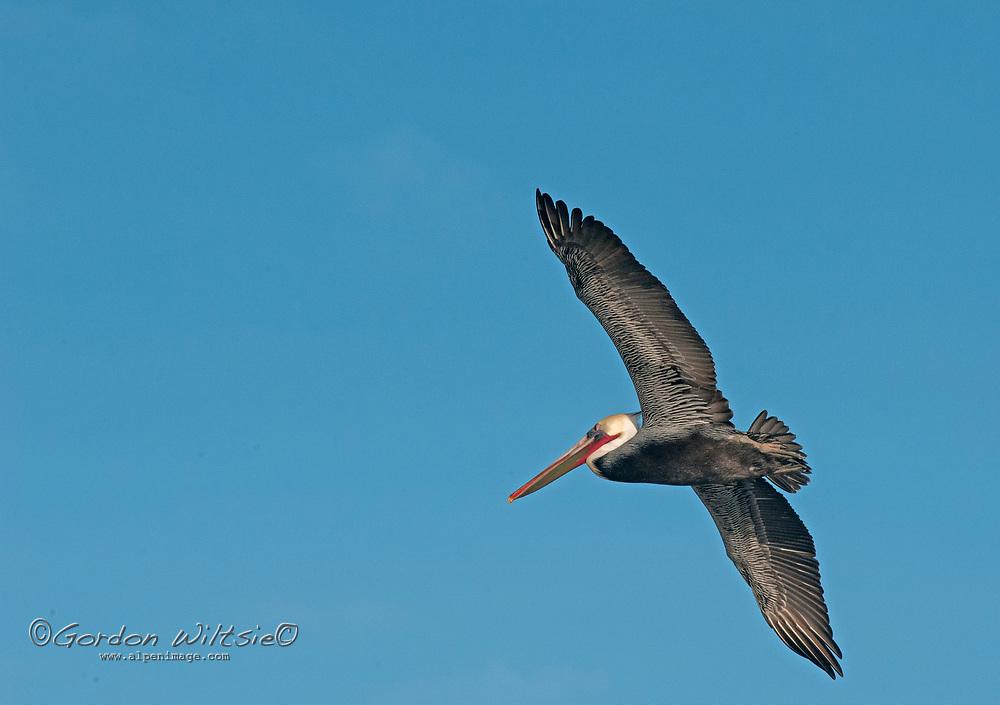 A Brown Pelican (Pelicanus occidentalis) flies along the Pacific Coast near Pescadero, California.