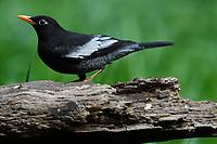 Grey-winged Blackbird, Turdus boulboul, sitting on a branch in Baihualing, Gaoligongshan, Yunnan, China