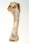 leg bone of a Turkey