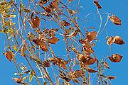 Lentils. Red. Closeup<br /> Piapot<br /> Saskatchewan<br /> Canada