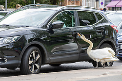 Licensed to London News Pictures. 25/05/2021. London, UK. Shoppers almost get an unexpected passenger when a swan tries to open car doors in Barnes, southwest London today as the Met Office forecast sunny warmer weather for London and the South East with temperatures predicted to hit 22c at the weekend. Photo credit: Alex Lentati/LNP