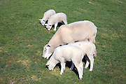 Lambs and sheep in field, Texel, Netherlands,
