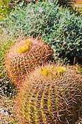 Barrel cactus blooming in Plum Canyon, Anza-Borrego Desert State Park, California USA