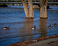 Four Canada Geese swimming in the flooded Delaware River in Lambertville. Image taken with a Leica D-Lux 5 camera (ISO 100, 15 mm, f/4, 1/500 sec).