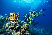 divers and yellow tube sponges, Aplysina fistularis, Treasure Point, Norman Island, British Virgin Islands,<br /> ( Caribbean Sea ) MR 231 MR 232