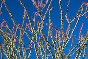 Ocotillo and blue sky in the Anza-Borrego Desert of southern California, USA