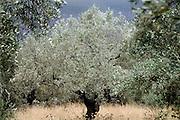 Griekenland, Nafplion, 5-7-2008Olijfboom met olijven in olijfboomgaard.Foto: Flip Franssen