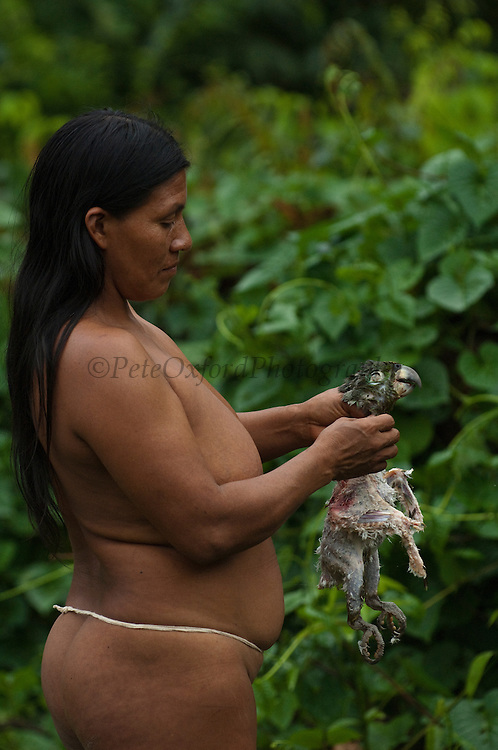 Huaorani Indian woman - Ware Baiwa plucking a Mealy parrot (Amazona farinosa) that was hunted for meat. Gabaro Community. Yasuni National Park.<br /> Amazon rainforest, ECUADOR.  South America<br /> This Indian tribe were basically uncontacted until 1956 when missionaries from the Summer Institute of Linguistics made contact with them. However there are still some groups from the tribe that remain uncontacted.  They are known as the Tagaeri. Traditionally these Indians were very hostile and killed many people who tried to enter into their territory. Their territory is in the Yasuni National Park which is now also being exploited for oil.
