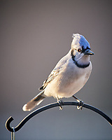 Blue Jay. Image taken with a Nikon D5 camera and 600 mm f/4 VR lens (ISO 1600, 600 mm, f/4, 1/640 sec).