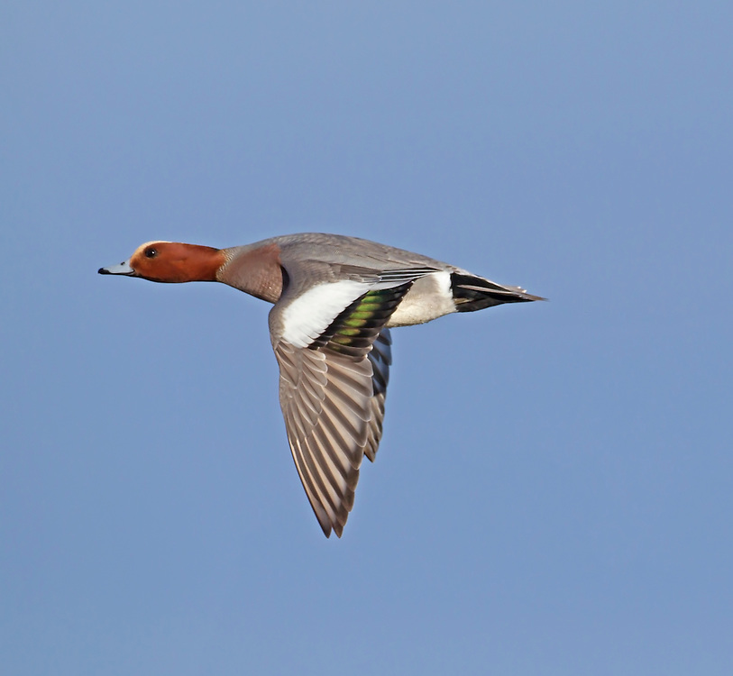 Wigeon - Mareca penelope - male. L 45-47cm. Males are colourful and attractive. Forms large flocks outside breeding season. Sexes are dissimilar. Adult male has mainly orange-red head with yellow forehead. Breast is pinkish; rest of plumage is mainly finely marked grey except for white belly and black and white stern. In flight, has white patch on wing. Bill is pale grey and dark-tipped. In eclipse, resembles an adult female although white wing patch is still evident. Adult female is mainly reddish brown, darkest on head and back. Note, however, the white belly and stern. In flight, lacks male's white wing patch. Bill is grey and dark-tipped. Juvenile resembles adult female. Voice Male utters evocative wheeeoo whistle.
