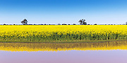Canola crop reflection in pond under blue sky near Lockhart, New South Wales, Australia. <br />