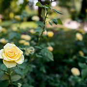 Smithsonian Castle Garden Roses. Yellow roses in the Folger Rose Garden at the Smithsonian Castle. Formally known as the Smithsonian Institution Building, the Smithsonian Castle houses the administrative headquarters fo the Smithsonian Institution as well as some a permanent exhibition titled Smithsonian Institution: America's Treasure Chest. It's distinctive architectural style stands out on the southern side of the National Mall in Washington DC.