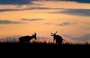 Two hartebeests against the morning sky in Maasai Mara, Kenya.