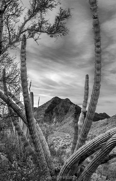 Twin Peaks Framed by Organ Pipe Cactus and Palo Verde at Sunset, Organ Pipe Cactus National Monument, Pima County, Arizona