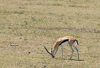 Thomson's Gazelle, Eudorcas thomsonii, grazing in Ngorongoro Crater, Ngorongoro Conservation Area, Tanzania