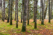 Rows of trees at Englishman River Falls Provincial Park near Nanaimo, British Columbia, Canada