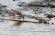 Three-banded plover (Charadrius forbesi) from Kruger NP, South Africa.