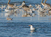 Royal tern, Sterna maxima, at the mouth of the Tarcoles River, Costa Rica