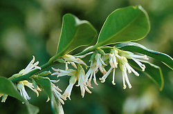 The scented flowers of Sarcococca confusa - Christmas Box